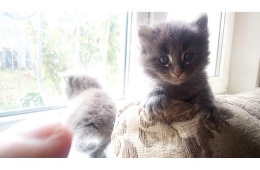 Котята длинношерстные оригинального окраса, фото — «Реклама Севастополя»