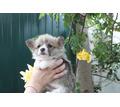 Девочки Вельш Корги Пемброк куцехвостые - Собаки в Симферополе