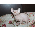 Котенок Канадского сфинкса,шоколадного окраса - Кошки в Симферополе
