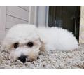 Бишон фризе в хорошие руки - Собаки в Крыму