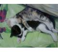 Две необыкновенные красавицы найдены очень маленькими ,ждут своего  хозяина - Кошки в Крыму