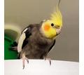 Продам  молодого самца попугая Корелла - Птицы в Крыму