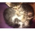 Отдам котят - Кошки в Симферополе