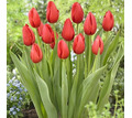 Луковицы тюльпанов (красные) - Саженцы, растения в Севастополе