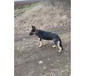 Немецкая овчарка - Собаки в Крыму