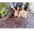 Отдам котят в хорошие руки - Кошки в Крыму