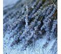 Куплю свежие пучки лавандина - Комнатные растения в Джанкое