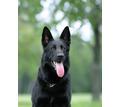Щенки черной немецкой овчарки с документами - Собаки в Севастополе