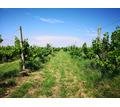 Предлагается к продаже виноградник,10 Га.Сорт Алиготе.Бахчисарайский район - Участки в Крыму