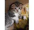 Котята вислоухие - купить в Севастополе - Кошки в Севастополе