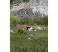 8 голов молочных козочек - Сельхоз животные в Крыму