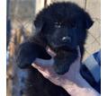 Щенки немецкой длинношерстной овчарки - Собаки в Крыму