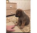 Щеночки в добрые руки - Собаки в Севастополе