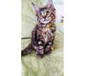 Невероятно красивые крупные котята Мейн-куна - Кошки в Симферополе
