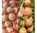 Продам озимый лук оптом - Эко-продукты, фрукты, овощи в Крыму