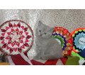 сладкие плюшевые шотландские котята, чистокровные - Кошки в Крыму