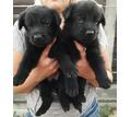 Черного окраса щенки немецкой овчарки - Собаки в Севастополе