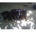 щенки немецкой овчарки - Собаки в Симферополе