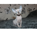 Котята Канадского сфинкса, профессиональное  разведение - Кошки в Симферополе