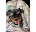 Продам щенка Йорк - Собаки в Симферополе