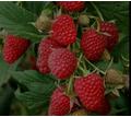 Продажа саженцев малины - Саженцы, растения в Джанкое