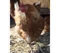Домашние куриные яйца в Симферополе - Эко-продукты, фрукты, овощи в Симферополе