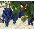 Домашний виноград изабелла - Эко-продукты, фрукты, овощи в Симферополе