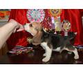 яркие щенки Бигля от племенных родителей - Собаки в Симферополе
