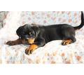 Питомниковые щенки ротвейлера - Собаки в Севастополе