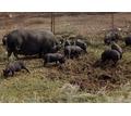 Продаются 2-х месячные вьетнамские поросята - Сельхоз животные в Евпатории
