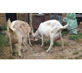 Продается ЗААНЕНСКАЯ чистокровная коза. 5 ть лет - Сельхоз животные в Симферополе