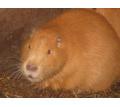 Нутрии, нутрия - Сельхоз животные в Симферополе
