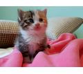 Котята красивой кошки в добрые руки - Кошки в Саках