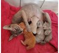 Котята браши донского сфинкса - Кошки в Красноперекопске