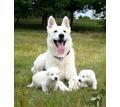 продаются щенки белой швейцарской овчарки - Собаки в Крыму