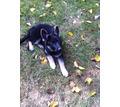 красивая крупная девочка,щенок Немецкой овчарки - Собаки в Симферополе