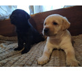 Милейшие щенки Лабрадора ретривера - Собаки в Симферополе