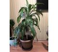 Продается Драцена - Саженцы, растения в Севастополе