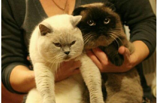 Предлагаются коты для вязки, фото — «Реклама Севастополя»