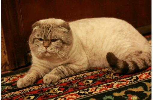 Предлагаются коты для вязки просто классные!!!!!!!!!!!!, фото — «Реклама Севастополя»