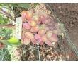 Саженцы винограда столовых и винных сортов, фото — «Реклама города Саки»