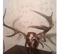 Продам большие  рога оленя . - Предметы интерьера в Кубани