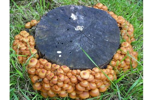 Грибной пакет рассады опят для засева на пни и деревья!, фото — «Реклама Краснодара»