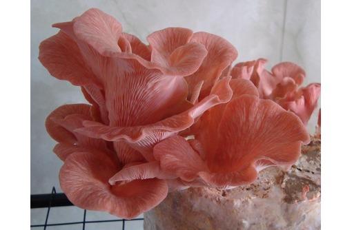 Семена вешенки розовой тропической, фото — «Реклама Тимашевска»