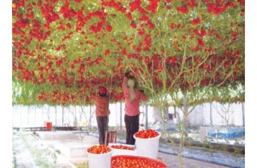 Работник теплицы с помидорами, фото — «Реклама Краснодара»