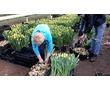 Сборщики тюльпанов - ВАХТА, фото — «Реклама Гулькевичей»