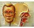 Лечение гайморита точечно-биоэнергетическим массажем, фото — «Реклама Анапы»
