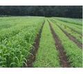 Семена суданской травы Кинельская 100, Саратовская 1083, Черноморка - Саженцы, растения в Кубани