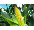 Семена кукурузы Краснодарский 194, Краснодарский 291 и др. - Саженцы, растения в Кубани