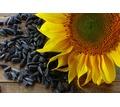 Семена подсолнечника (сорта и гибриды) - Саженцы, растения в Кубани